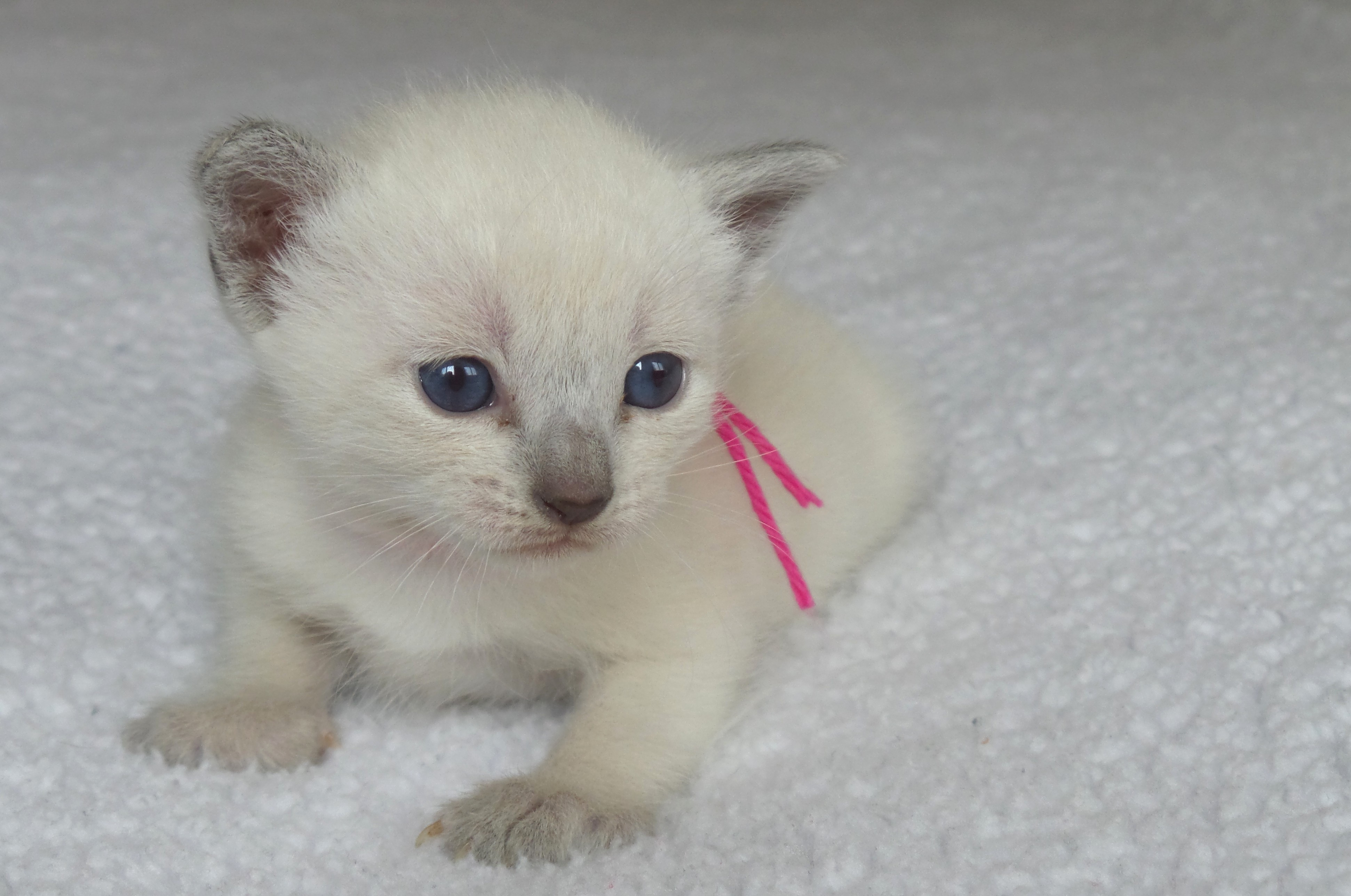Three adorable female Siamese kittens Sold