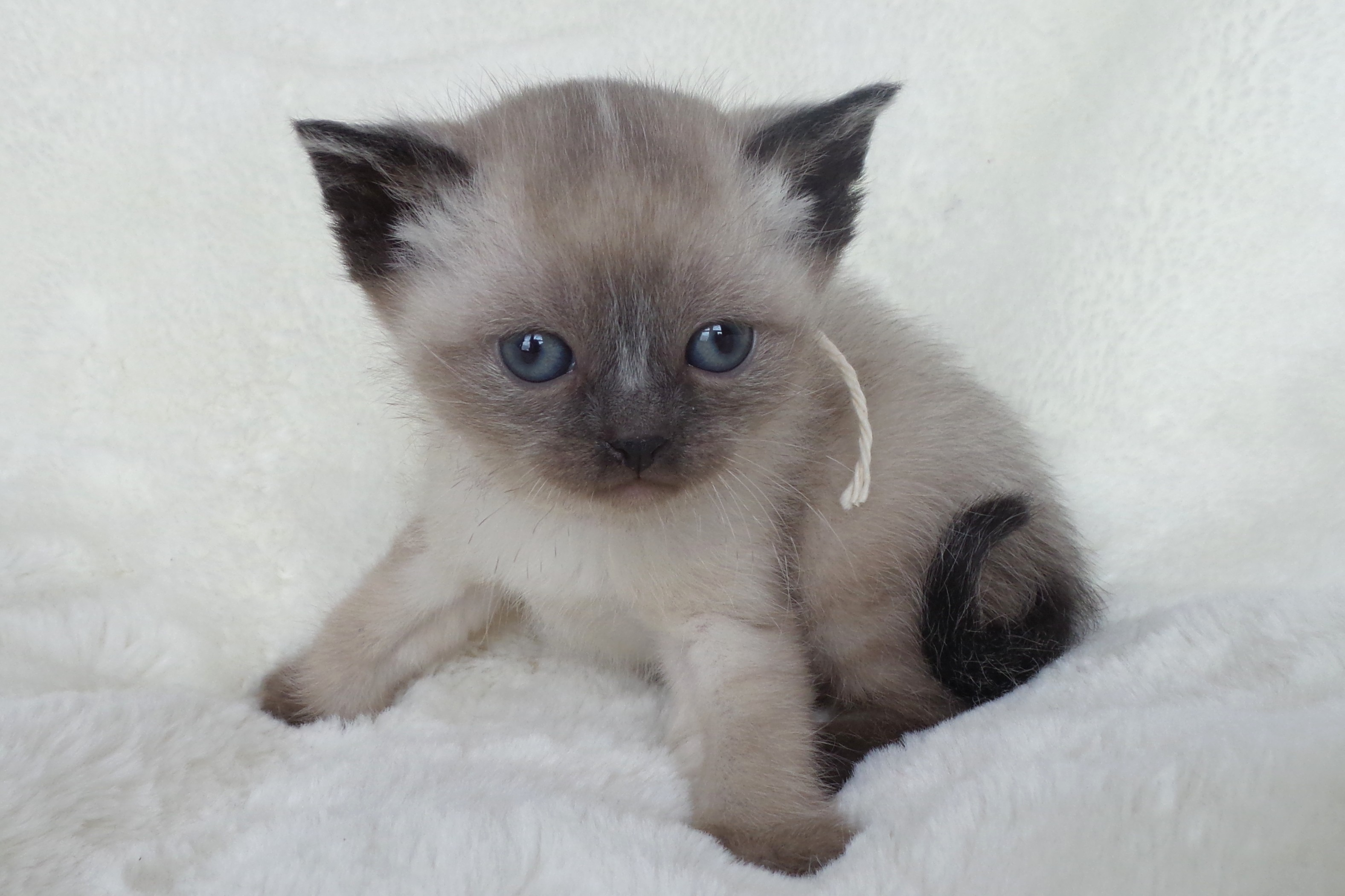 Mitten Kittens : Siamese Kitten Breeder from Michigan
