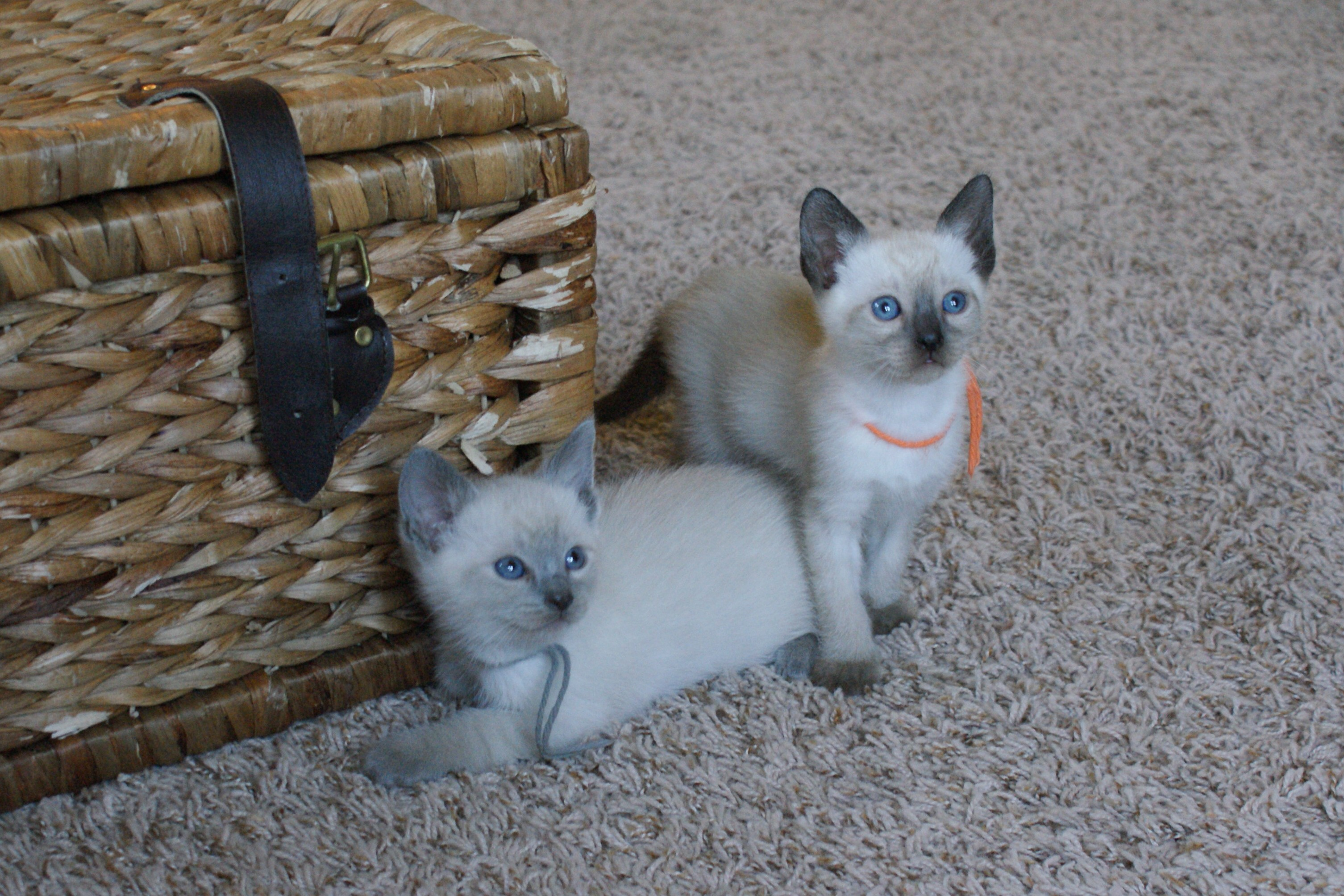 Three adorable male applehead Siamese available