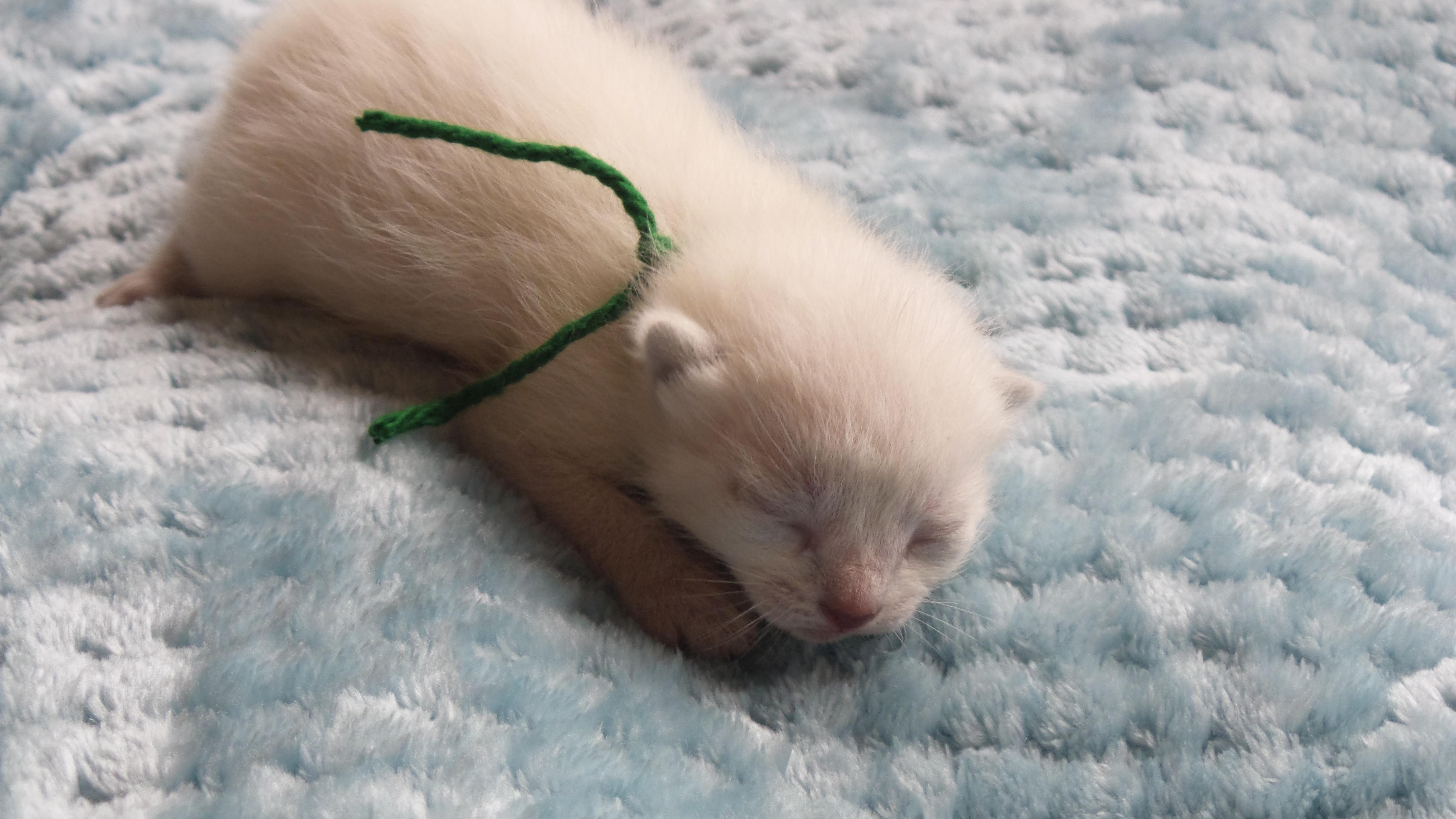 Siamese kitten