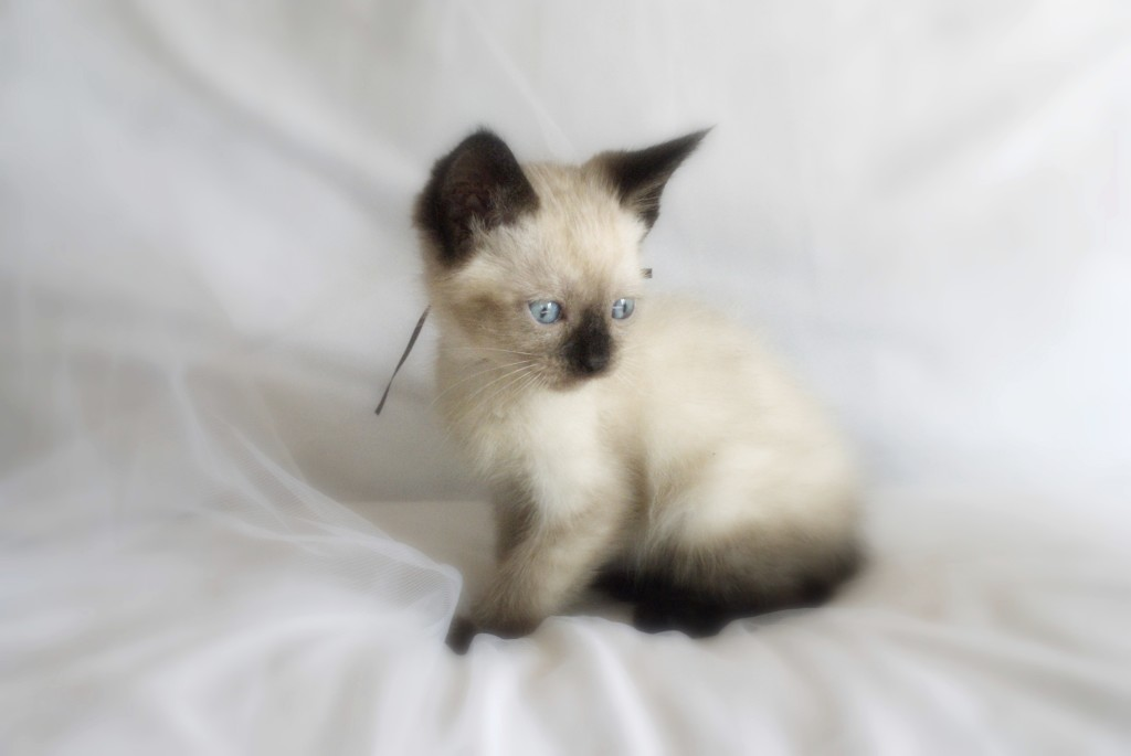 Image - Siamese-kittens-for-adoption.jpg | Animal Jam Clans Wiki ...