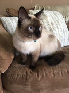 Male Siamese Cat